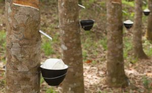 Image Showing Rubber Manufacturing Process From Trees