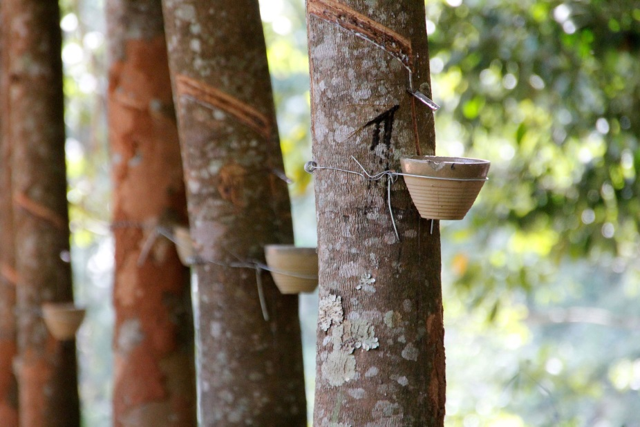 Image Showing Rubber Extraction From Trees
