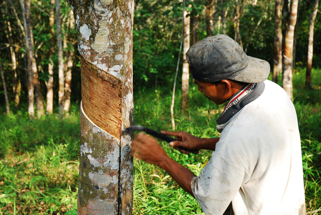 An Image of a man doing rubber extraction process in a tree